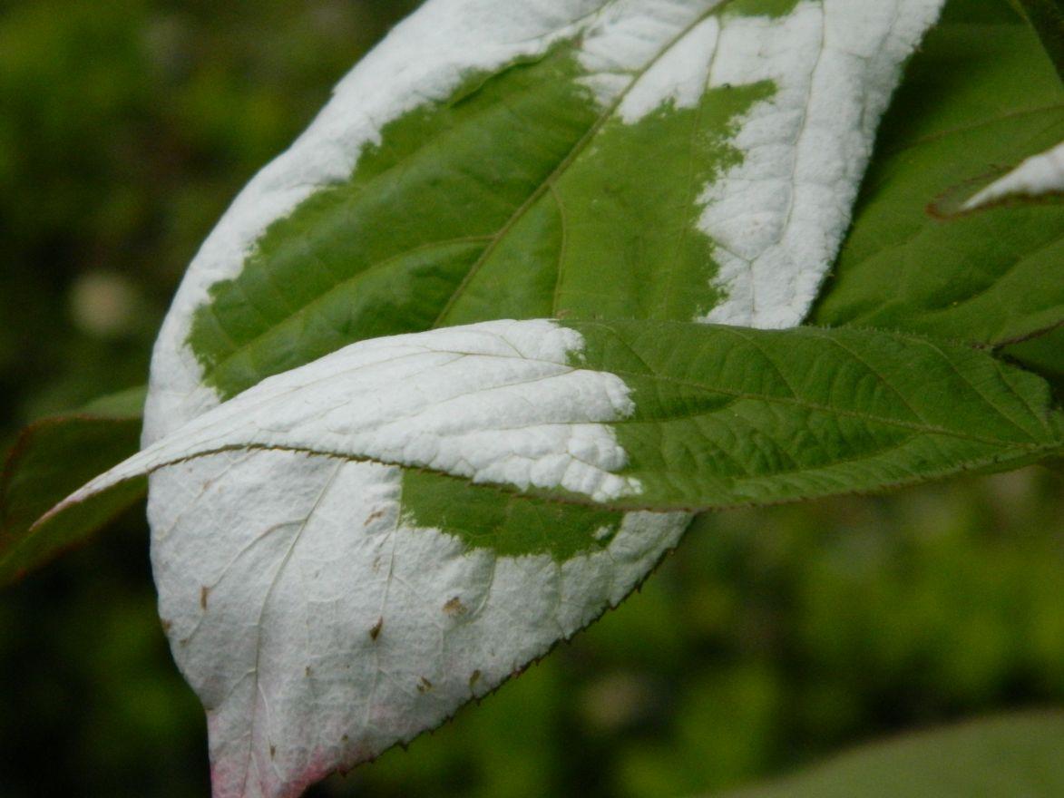 Actinidia kolomikta (Sierkiwi, Siberische kiwi, kattenkiwi)
