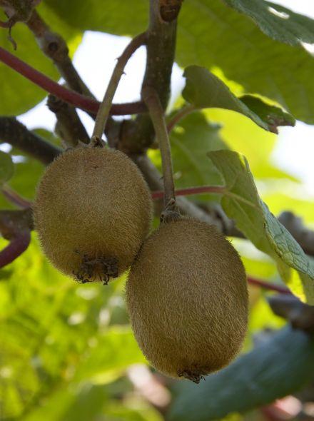 Actinidia deliciosa 'Boskoop' (Zelf bestuivende kiwi)