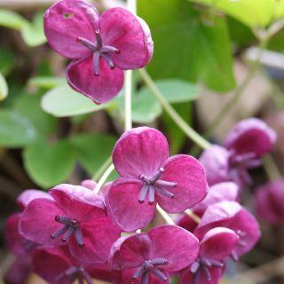 Akebia quinata (Klimbes, schijnaugurk, Klettergurke, Fingerblättrige Akebie, Chocolate vine)