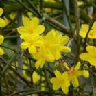 Jasminum nudiflorum (Winterjasmijn, naakt bloeiende jasmijn)