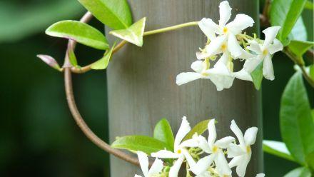 Toscaanse jasmijn, sterjasmijn (Trachelospermum)