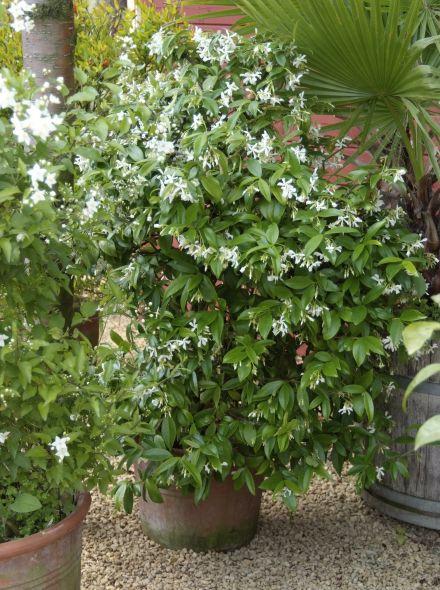 Trachelospermum jasminoides (Toscaanse Jasmijn, dakvorm)