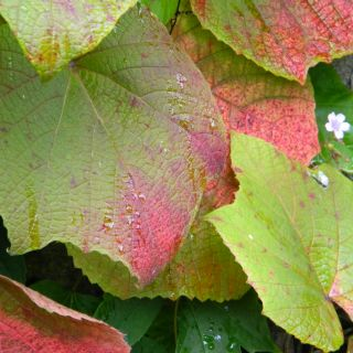 Vitis coignetiae (Japanse wijnstok, sierwijnstok, sierwingerd)