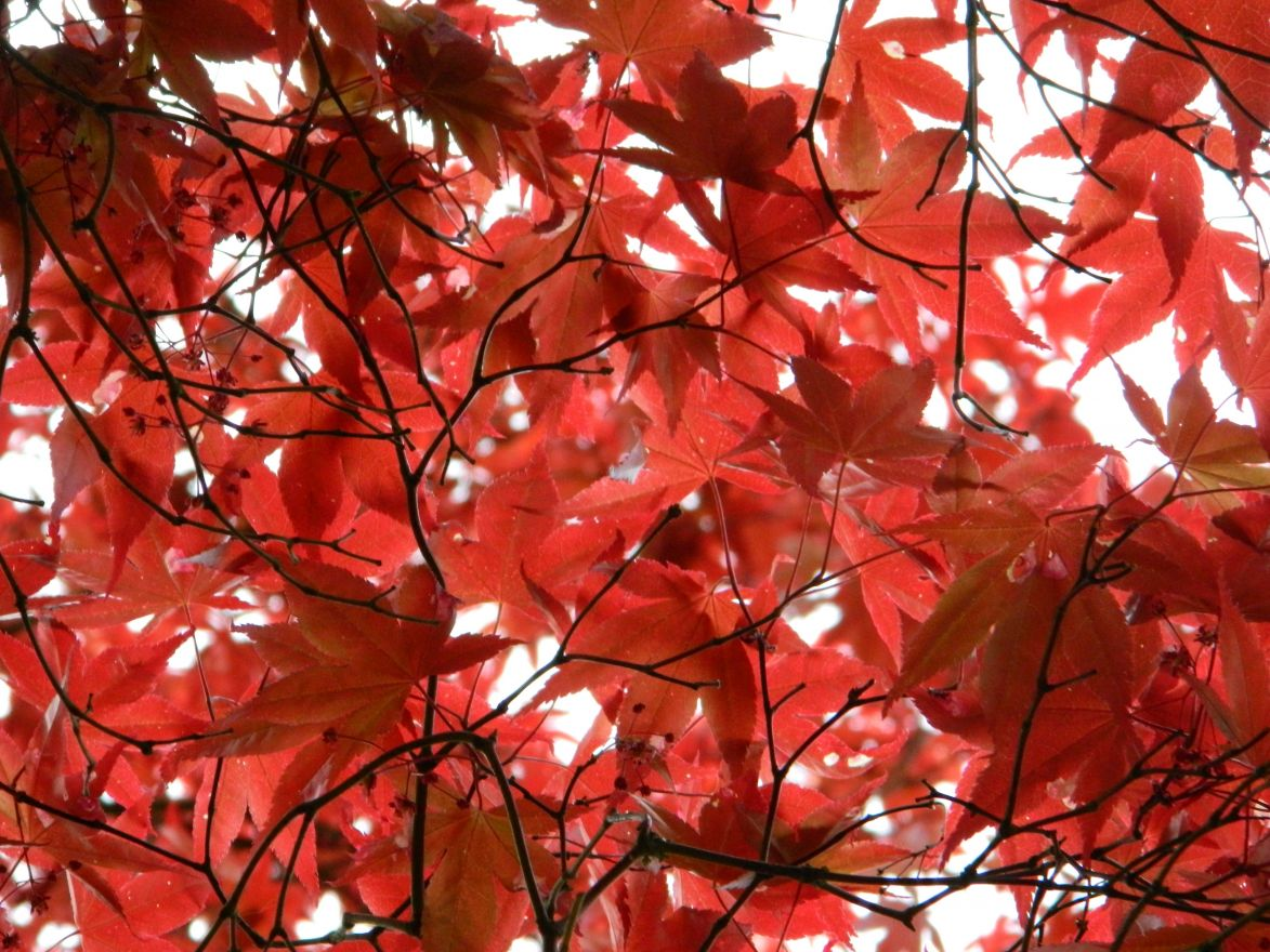 Acer palmatum 'Bloodgood' (Japanse esdoorn)