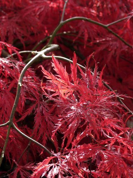 Acer palmatum Dissectum Garnet (Japanse esdoorn)