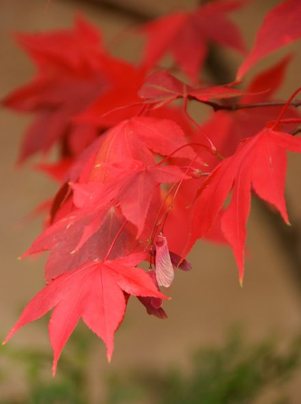 Acer palmatum Osakazuki (Japanse esdoorn)