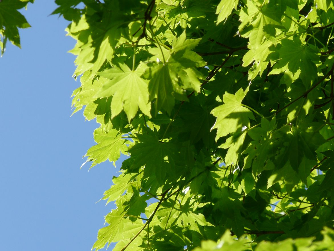 Acer shirasawanum Aureum (Japanse esdoorn)