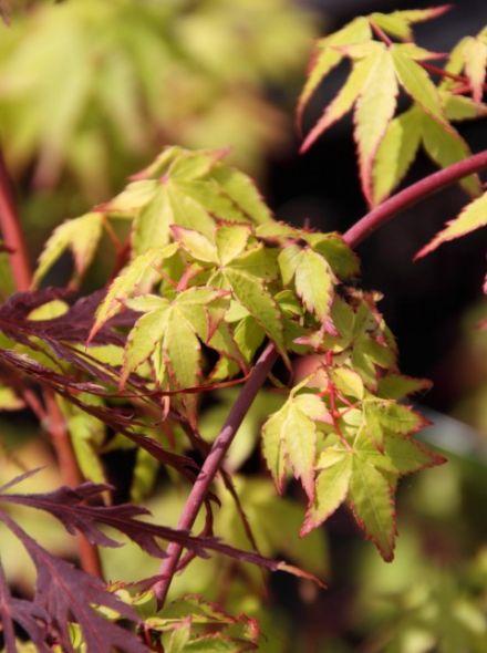 Acer palmatum 'Little Princess' (Japanse esdoorn)