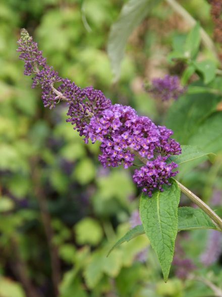 Buddleja davidii 'Empire Blue' (Vlinderstruik)