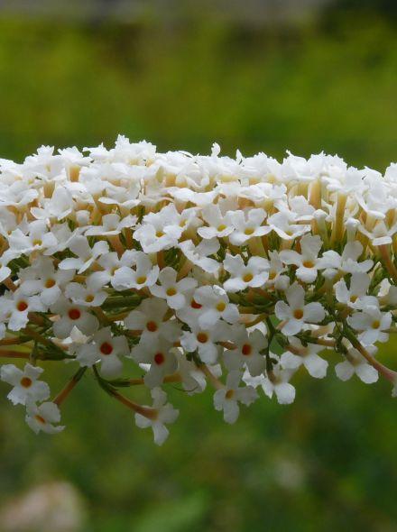 Buddleja davidii 'Nanho White' (lage witte Vlinderstruik)