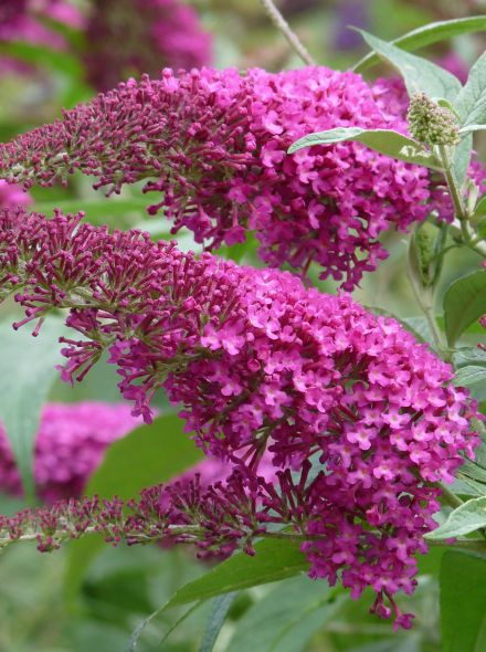 Buddleja davidii 'Summer Beauty' (Vlinderstruik)
