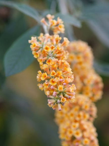 Buddleja weyeriana 'Sungold' (geel bloeiende Vlinderstruik)