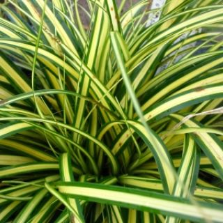 Carex oshimensis 'Evergold' (bontbladige Japanse zegge, Japan Segge, Evergreen Japanese Sedge)