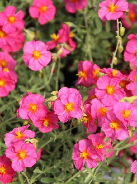 Helianthemum 'Ben Hope' (Zonneroosje)