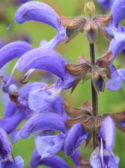 Salvia pratensis (Veldsalie, weidesalie)
