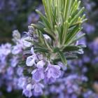 Rosmarinus officinalis - p9