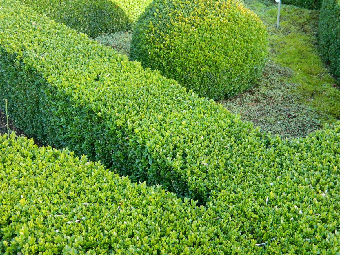 Buxus sempervirens (Palmboompje of heggepalm)