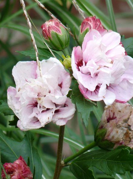 Hibiscus syriacus 'Leopoldii' (Altheastruik, Tuinhibiscus)