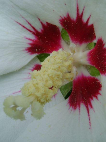 Hibiscus syriacus 'Red Heart' (Altheastruik, Tuinhibiscus)