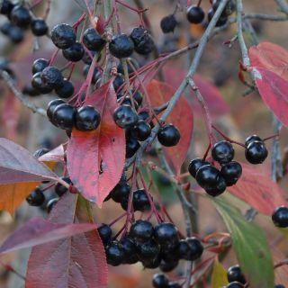 Aronia melanocarpa (Zwarte appelbes)