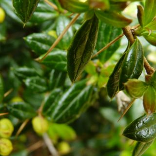 Berberis frikartii 'Amstelveen' (Zuurbes)