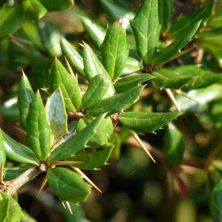 Berberis hybrido-gagnepainii Chenault (Zuurbes)