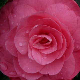 Camellia japonica 'Ack Scent' (Japanse roos, theeplant)