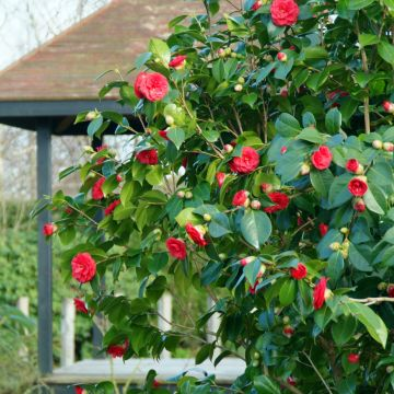 Ziektes en verzorging bij Camellia