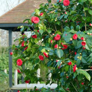 Camellia japonica 'Barbara Morgan' (Japanse roos of theeplant)