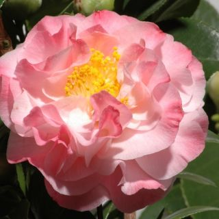 Camellia japonica 'Nuccio's Jewel' (Japanse roos of theeplant)