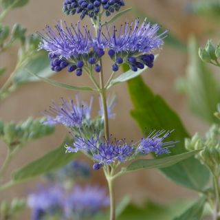 Caryopteris clandonensis 'Heavenly Blue' (baardbloem of blauwe spiraea)