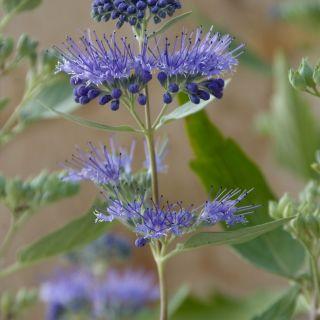 Caryopteris clandonensis 'Heavenly Blue' (baardbloem of blauwe spiraea)