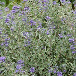 Caryopteris clandonensis 'Kew Blue' (baardbloem of blauwe spiraea)