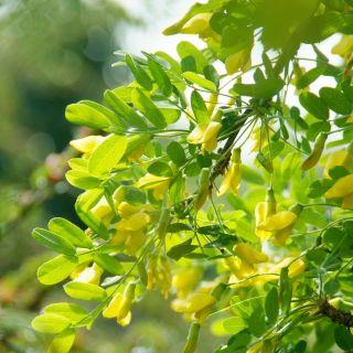 Caragana arborescens 'Walker' (erwtenstruik)
