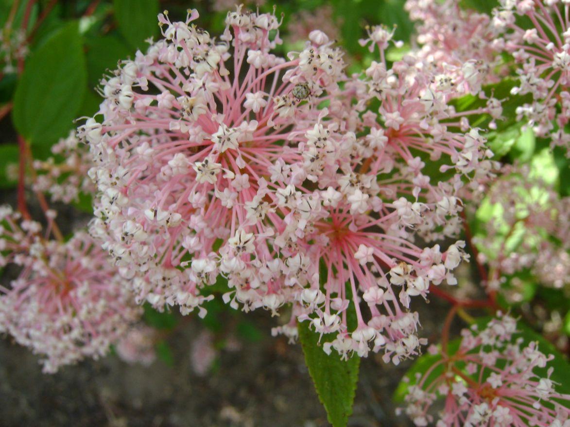 Ceanothus pallidus 'Marie Simon' (Amerikaanse sering, herfstsering)