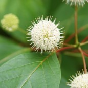 Kogelbloem (Cephalanthus occidentalis) - 50-60 C3