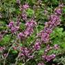 Cercis chinensis 'Avondale' (Chinese judasboom) - C5