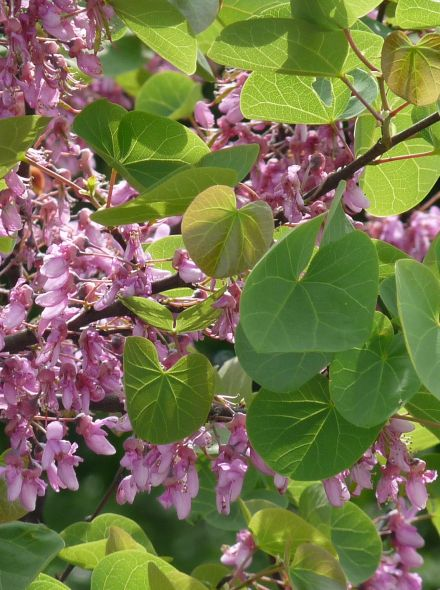 Cercis chinensis 'Avondale' (Chinese judasboom)
