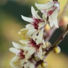 Chimonanthus praecox (Meloenboompje of Winterzoet) 100/125 cm