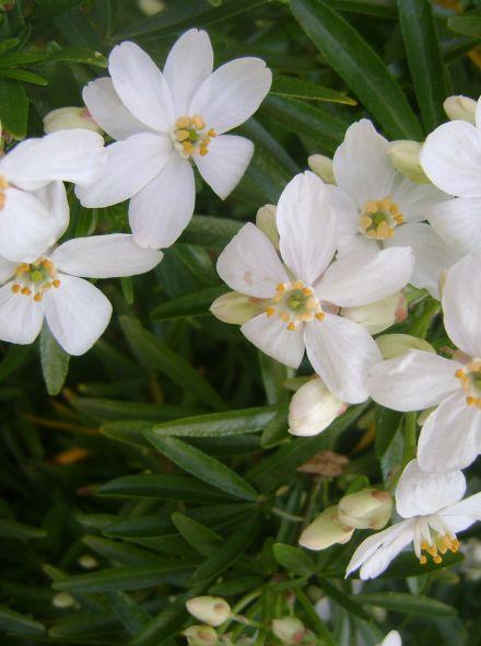 Choisya ternata 'Aztec Pearl' (Mexicaanse citroenbloesem, Mexican orange blossom)