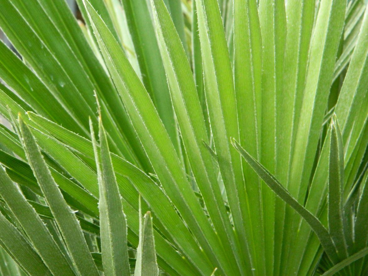 Chamaerops humilis (Europese dwergpalm, Winterharde palm)