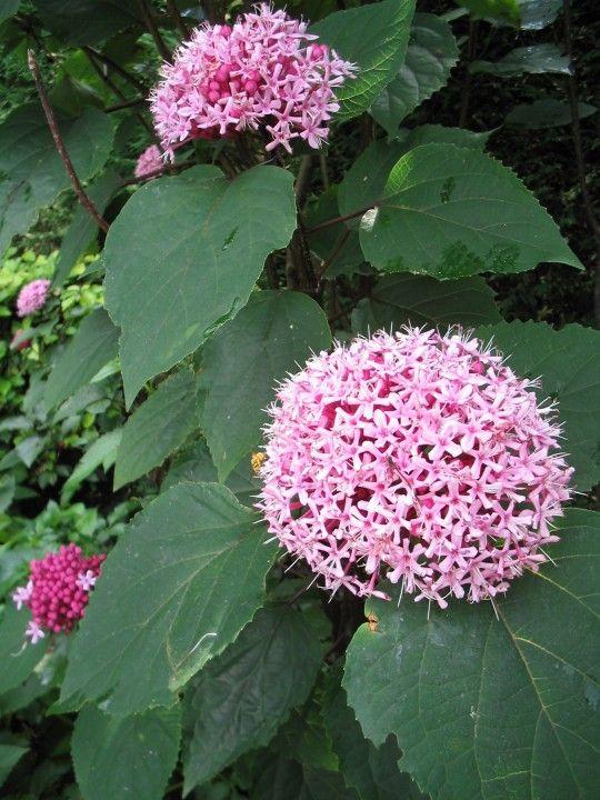 Clerodendrum bungei (Kransenboom, pindakaasboom)