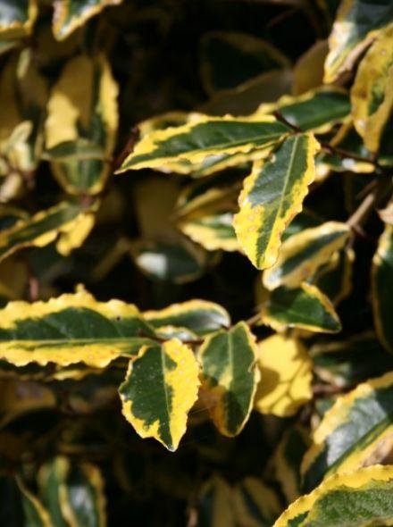 Elaeagnus ebbingei 'Gilt Edge' (Bontbladige Olijfwilg als bolboom )