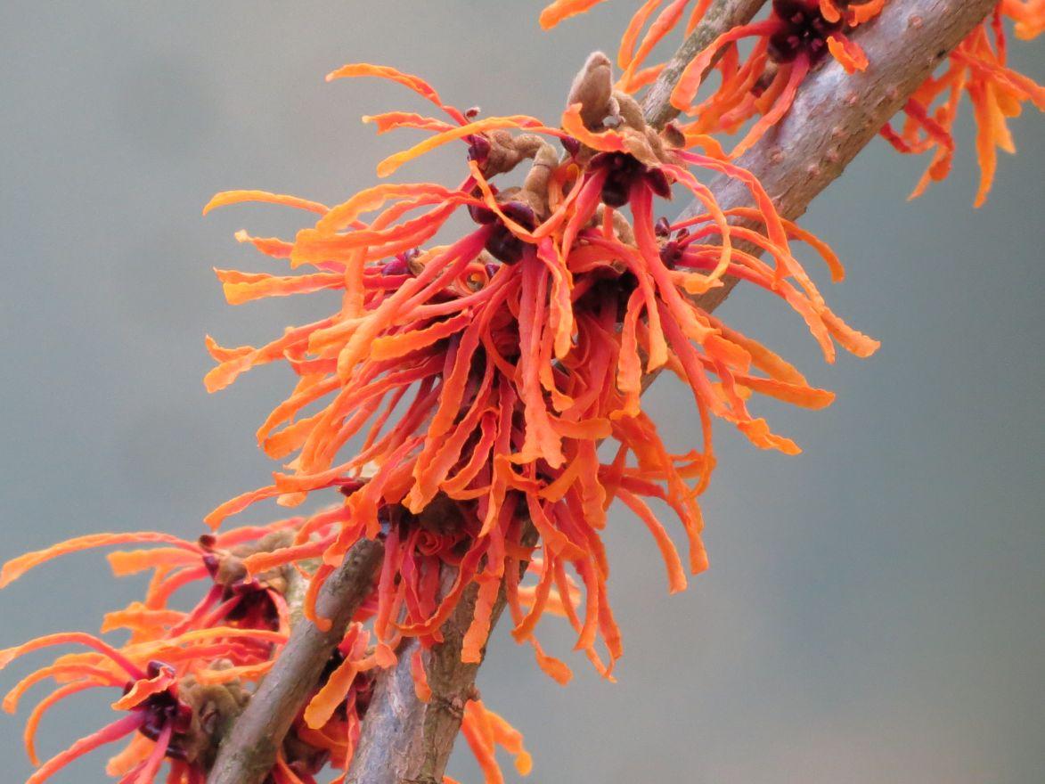 Hamamelis intermedia 'Jelena' (Oranje toverhazelaar)
