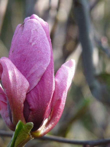 Magnolia 'Galaxy' (Beverboom of Valse Tulpenboom)