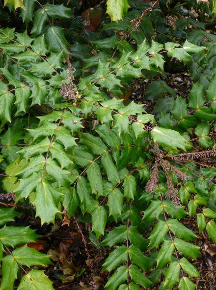 Mahonia bealei 'Hivernant' (Mahoniestruik)