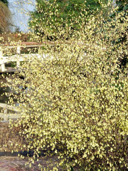 Corylopsis pauciflora (Schijnhazelaar)