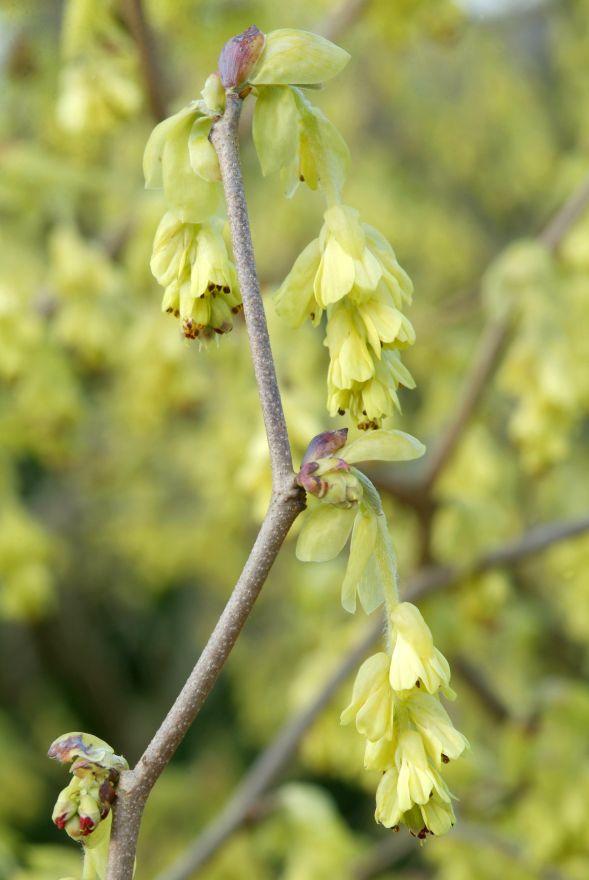 Corylopsis spicata (Schijnhazelaar)