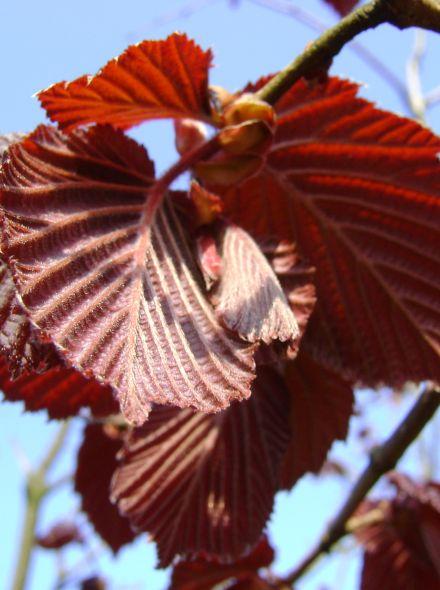Corylus avellana Rode Zellernoot (Roodbladige hazelnoot)