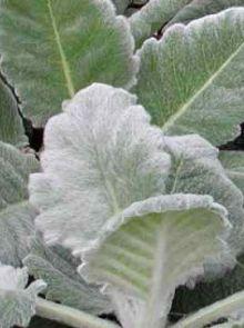 Salvia argentea (Zilversalie)